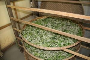Silkeorme, der æder i 21 dage, hvorefter de forpupper sig
