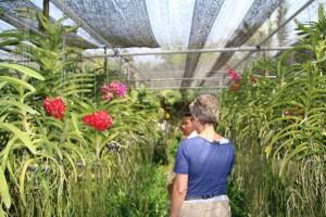 Orkide'er i lange rækker